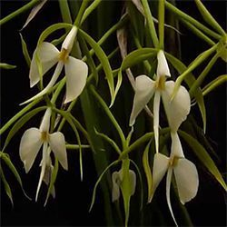 Orquídea Epidendrum parkinsonianum
