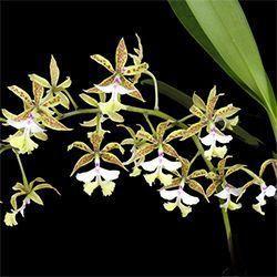 Orquídea Epidendrum stamfordianum espont