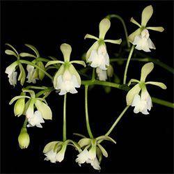 Orquídea Epidendrum warasii
