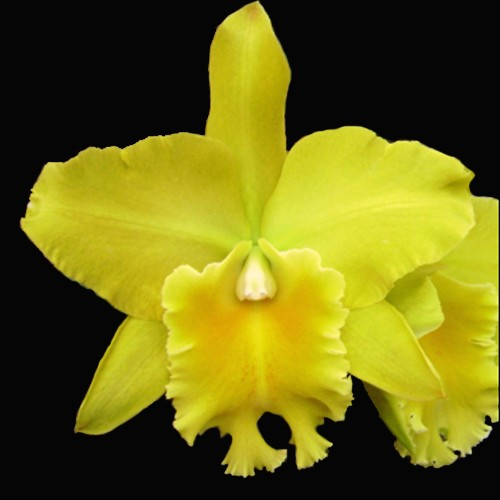 Orquídea Gorgeous Gold Pokai x Pot Exotic Dream nº 4 x C. Horace Maxima