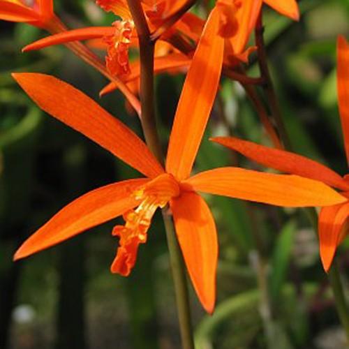 Orquídea Hoffmannseggella angereri
