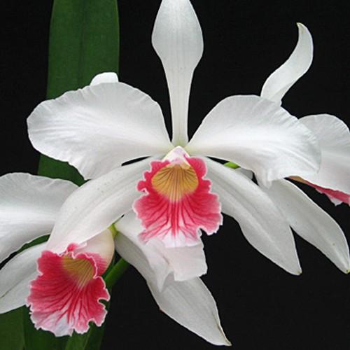 Orquídea Laelia purpurata carnea