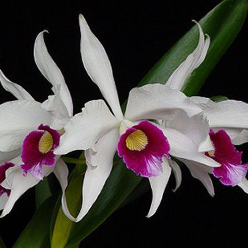 Orquídea Laelia purpurata semi alba
