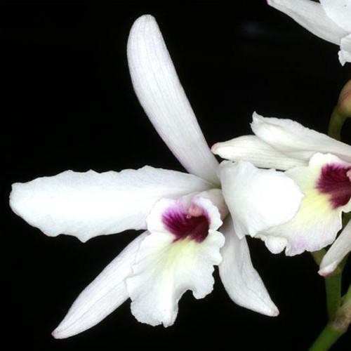 Orquídea Laelia rubescens Cabelo Branco