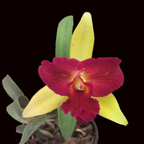 Orquídea Lc Nobiles Confetti