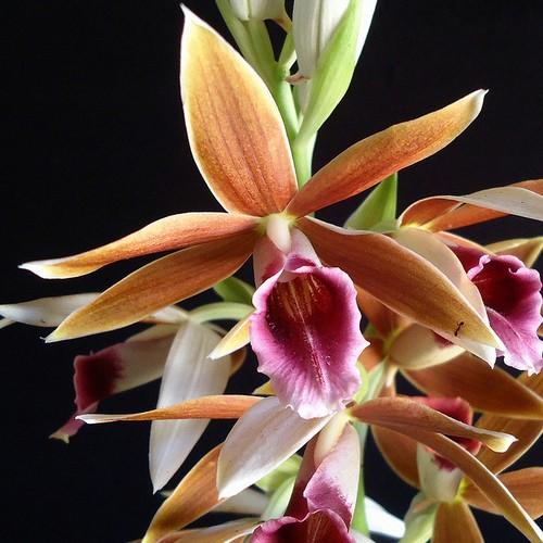 Orquídea Phaius tankervilleae