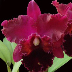 Orquídea Pot. Exotic Dream nº 1 x Blc. Oconee Mendenhall x Pot Sally Taylor `Red´ x C. Horace