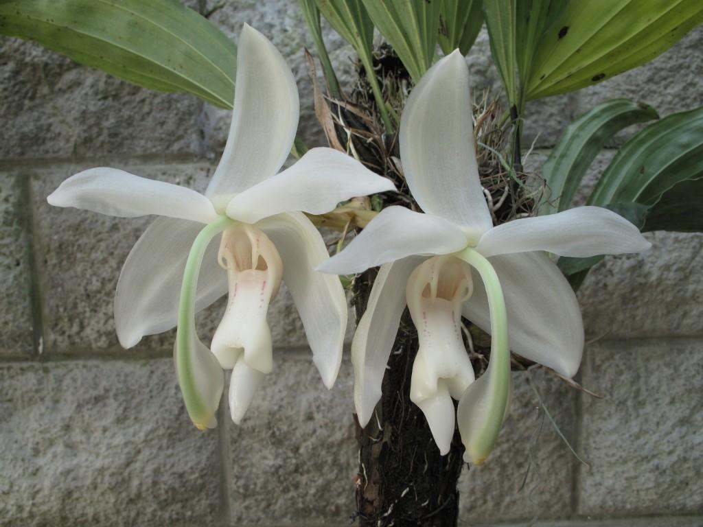 Orquídea Stanhopea grandiflora
