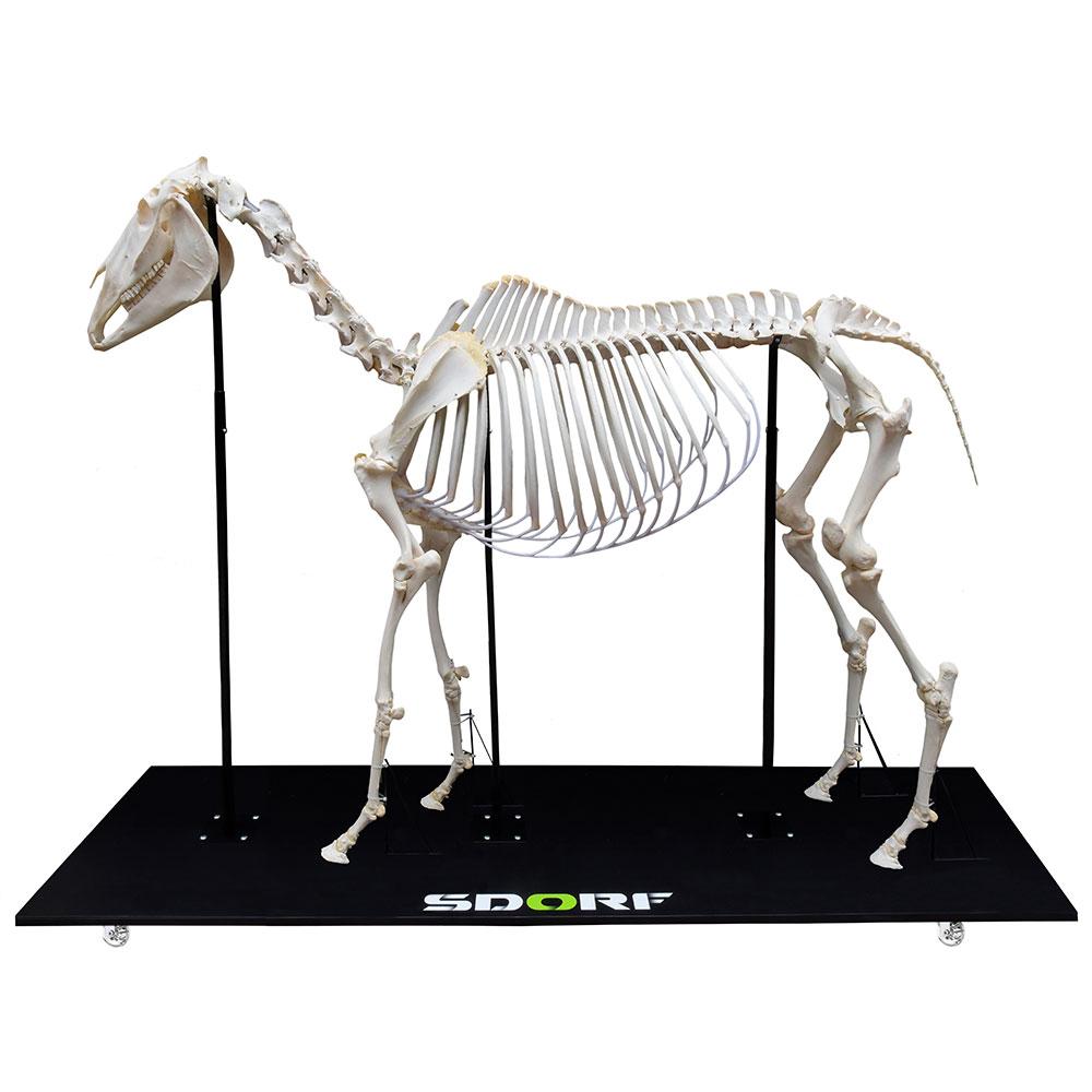 ESQUELETO NATURAL E ARTICULADO DE EQUINO ( Equus Ferus Caballus) SD-7400 SDORF