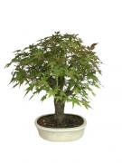Bonsai Acer Palmatum 15 anos