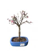 Bonsai Sakura Anã Rosa 04 anos