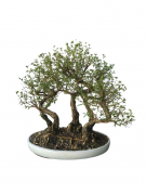 Bonsai Serissa Chinesa 15 anos (Bosque)