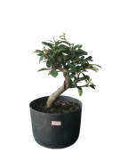 Pré-Bonsai Cotoneaster 04 anos