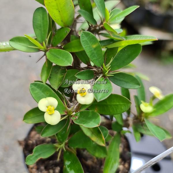 CACTO COROA DE CRISTO (EUPHORBIA MILII) amarela, flor pequena
