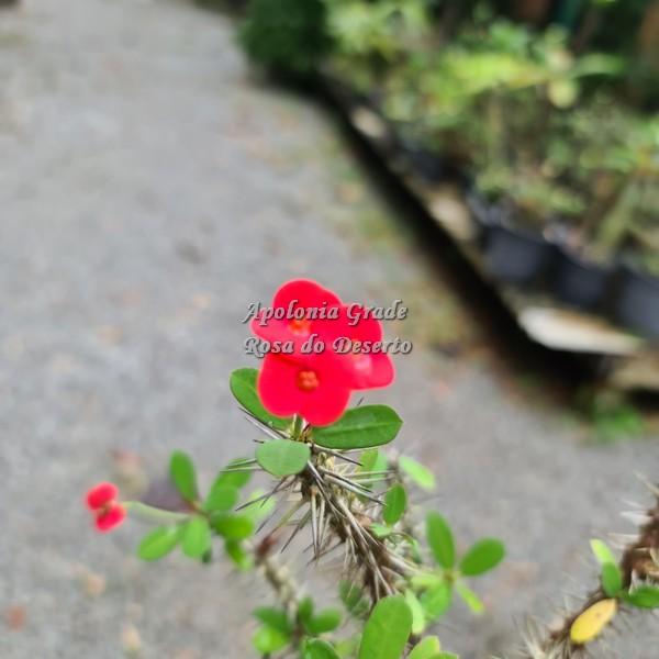 CACTO COROA DE CRISTO (EUPHORBIA MILII) vermelha