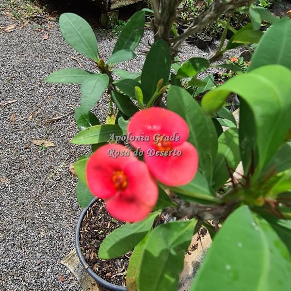 CACTO COROA DE CRISTO (EUPHORBIA MILII)  vermelho flor média