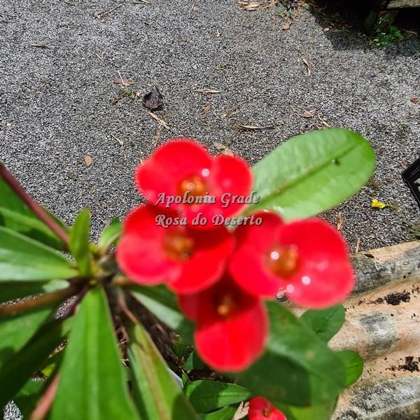 CACTO COROA DE CRISTO (EUPHORBIA MILII)  vermelho vibrante