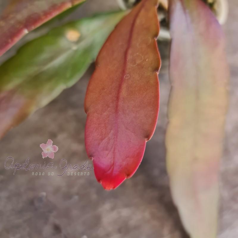 CACTO EPIPHYLLUM RED RAMULOSA (RHIPSALIS)
