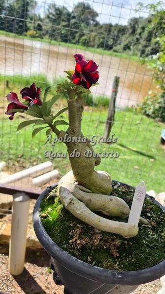 ROSA DO DESERTO VIUVA NEGRA, SINGELA, CAUDEX SELECT 038 (03 enxertos)
