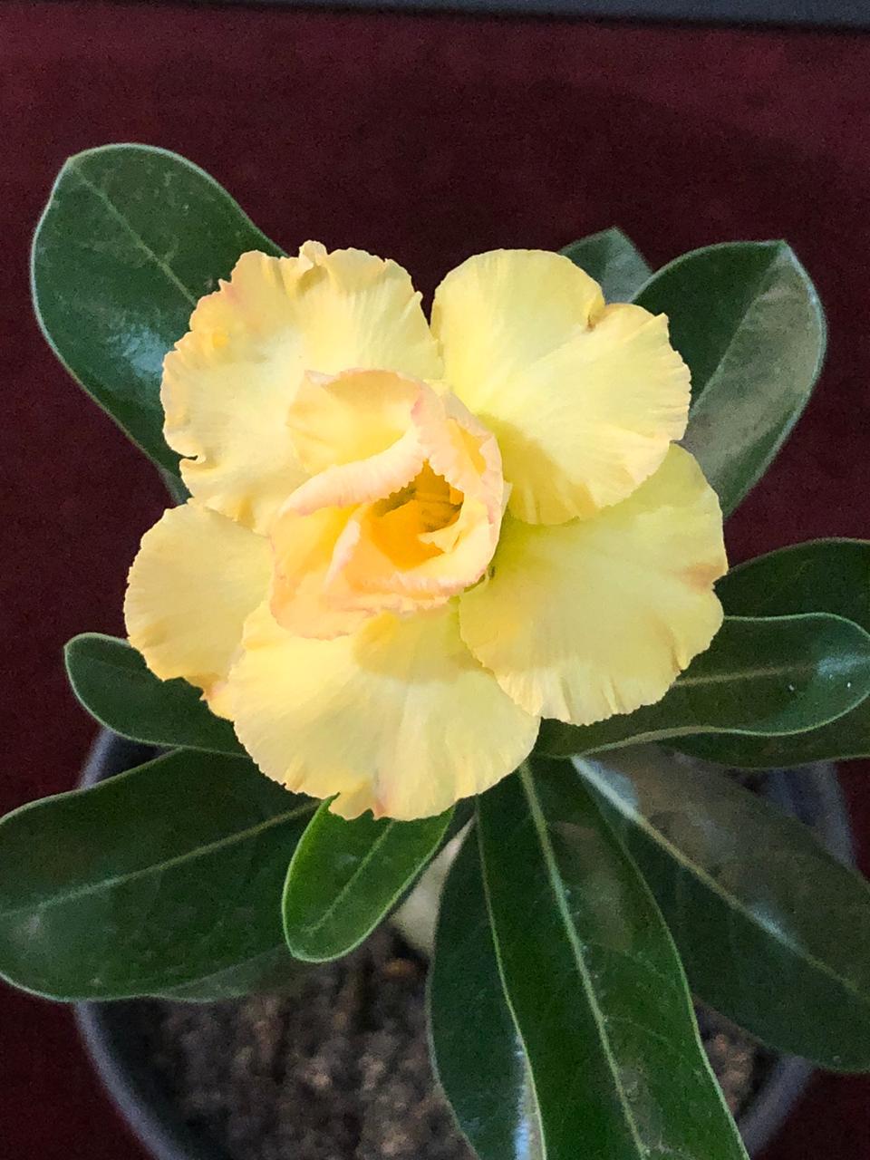 Rosa do Deserto BEAUTIFULL YELLOW
