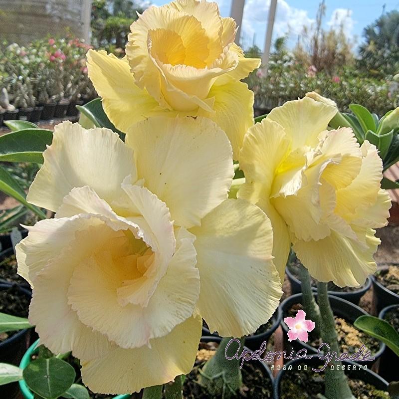 ROSA DO DESERTO YELLOW BEAUTIFULL