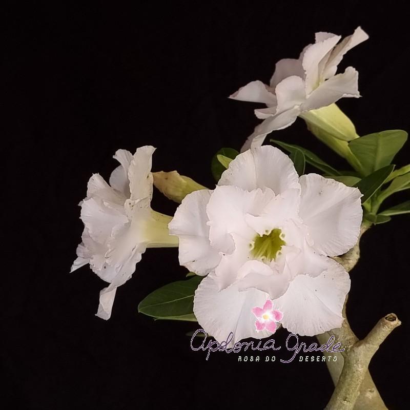 ROSA DO DESERTO BIG WHITE  SELECT 396