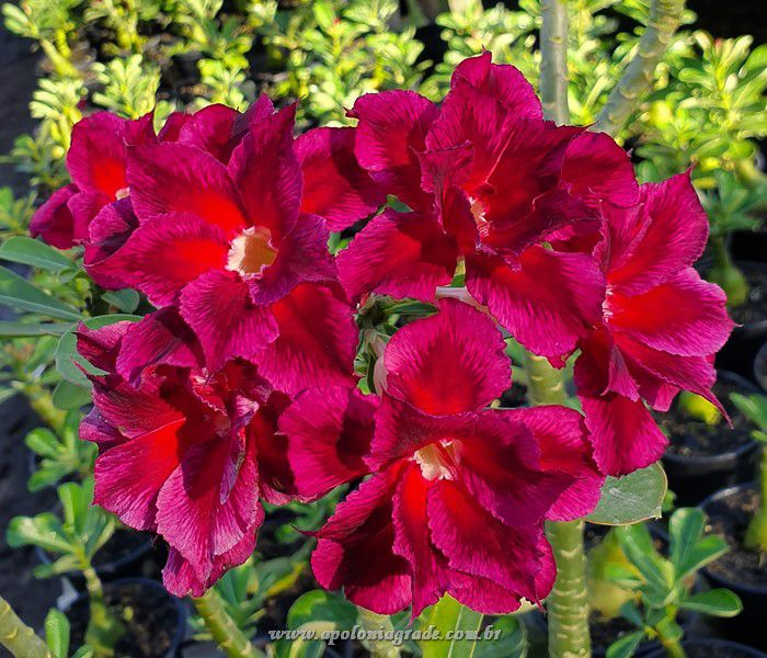 ROSA DO DESERTO BOUQUET RED PURPLE DOBRADA,