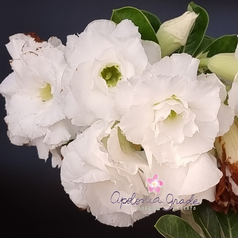 ROSA DO DESERTO Bouquet BRANCA MULTI, SELECT 271