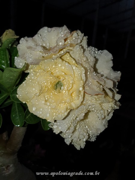 ROSA DO DESERTO BRIDAL BOUQUET, SELECT 036 COM 03 ENXERTOS