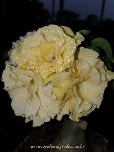 ROSA DO DESERTO BRIDAL BOUQUET, SELECT 046 FLORIDA