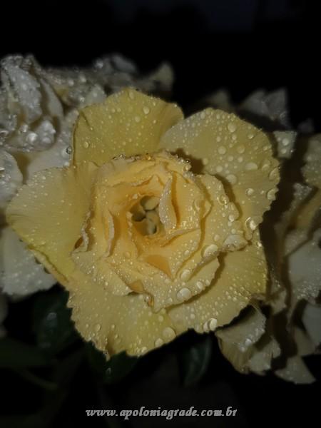ROSA DO DESERTO BRIDAL BOUQUET, SELECT 050 COM 03 ENXERTOS, FLORIDA