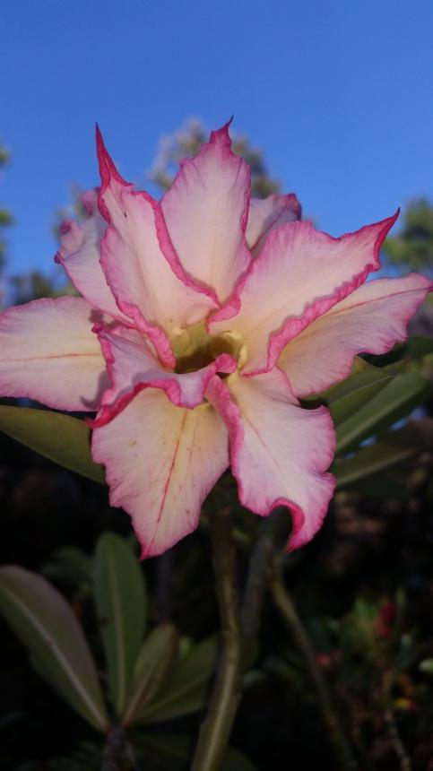ROSA DO DESERTO ESTRELA DO ENTARDECER DOBRADA