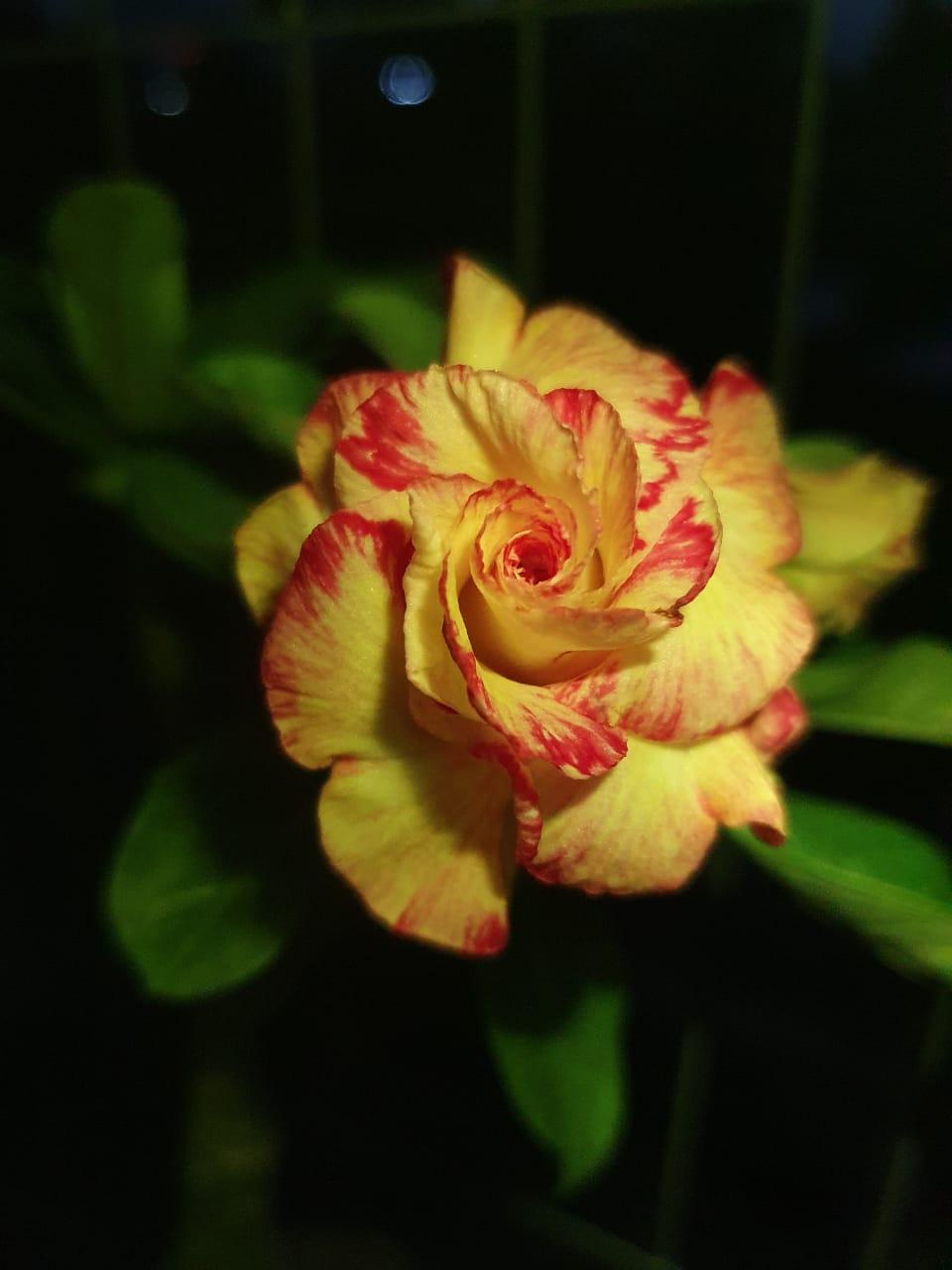 Rosa do Deserto Giàng Lòng