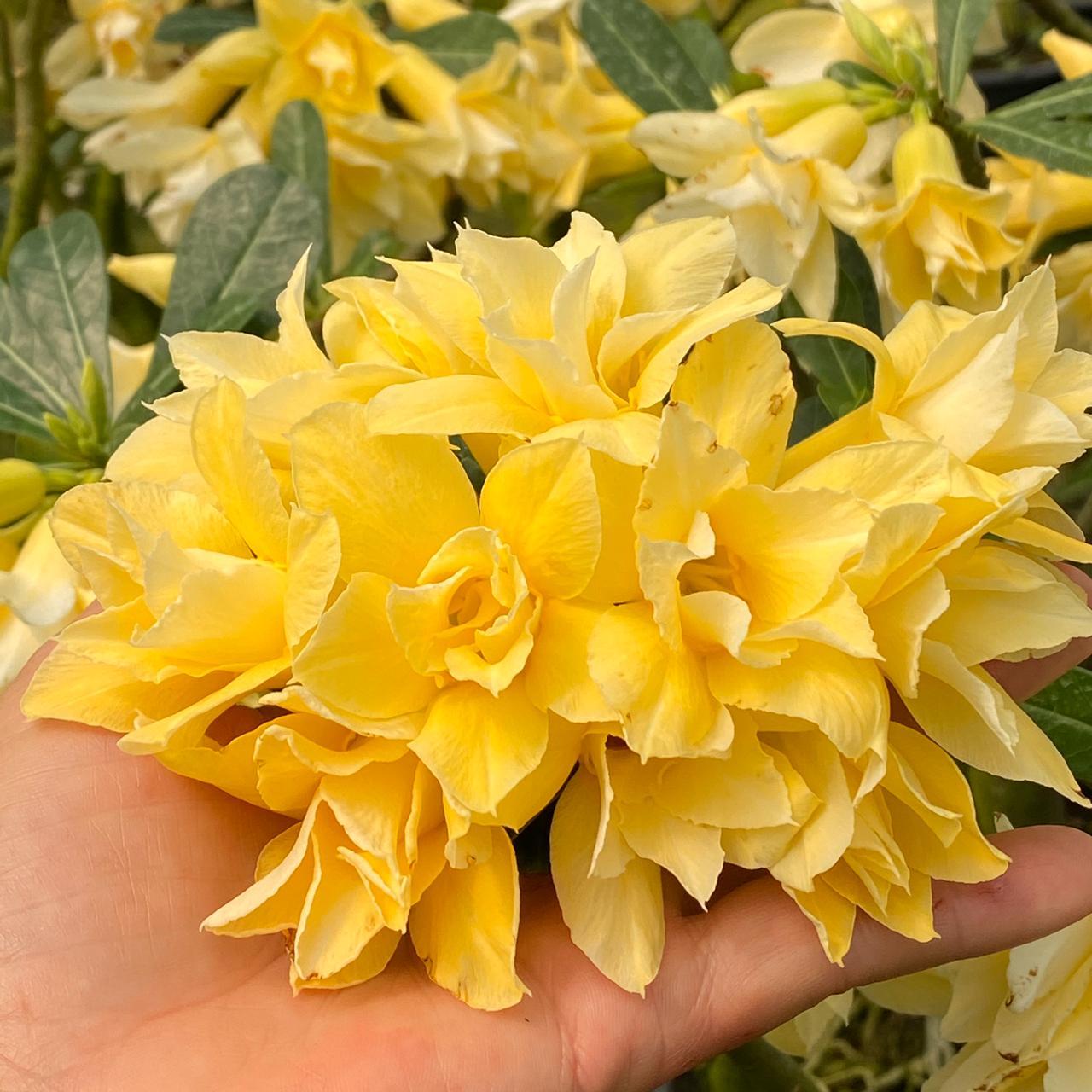 Rosa do Deserto GOLD Flor Dobrada