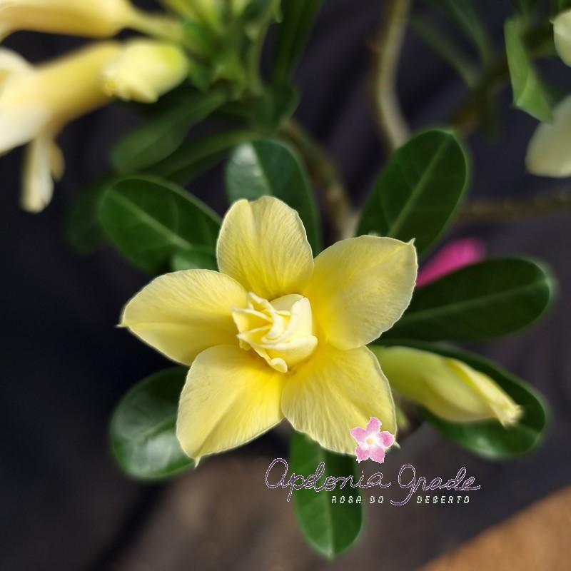 Rosa do Deserto GOLD - SELECT 217 (2 PLANTAS)