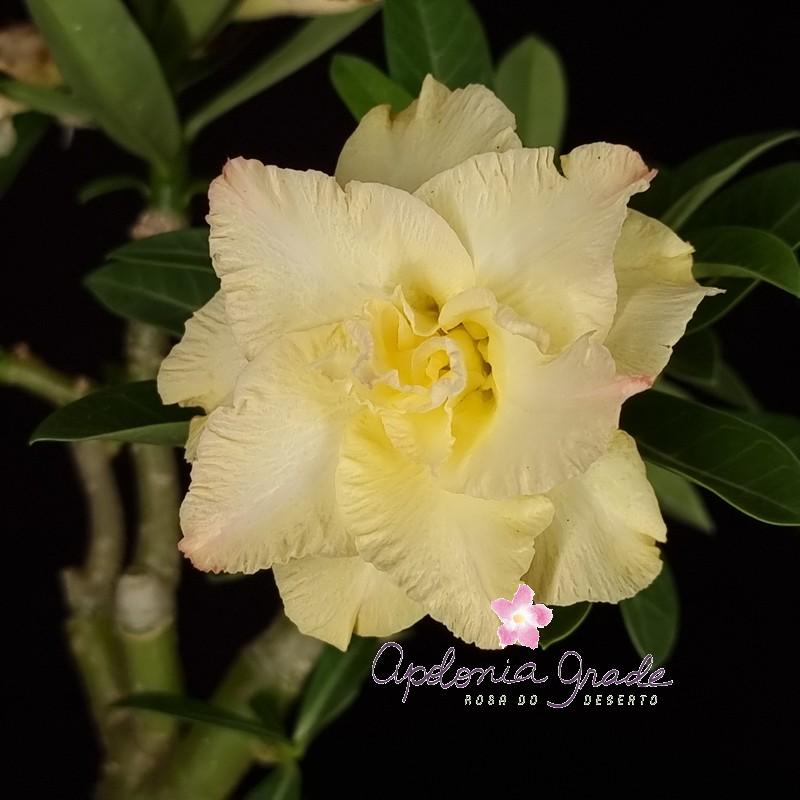 ROSA DO DESERTO GOLDEN DRAGON, 3 enxertos - SELECT 365