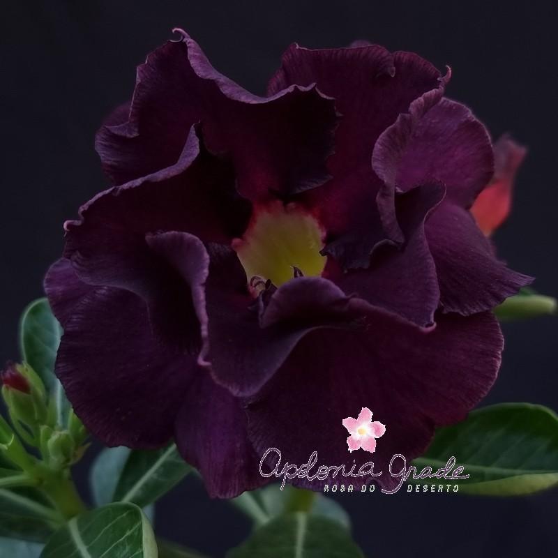 ROSA DO DESERTO MIDNIGHT, flor dobrada