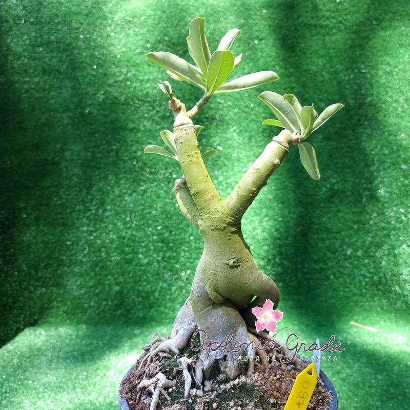ROSA DO DESERTO NR 12 SELECT 097, FLORIDA, 03 ENXERTOS