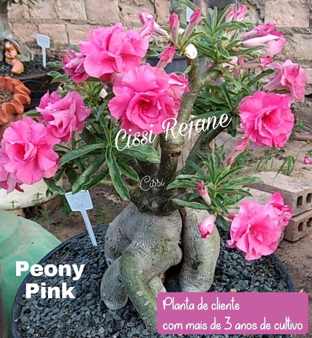ROSA DO DESERTO PEONY PINK MULTIPETALAS