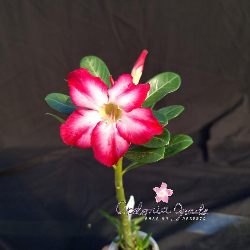 ROSA DO DESERTO PRECOCE , PLANTA JOVEM FLORIDA 002