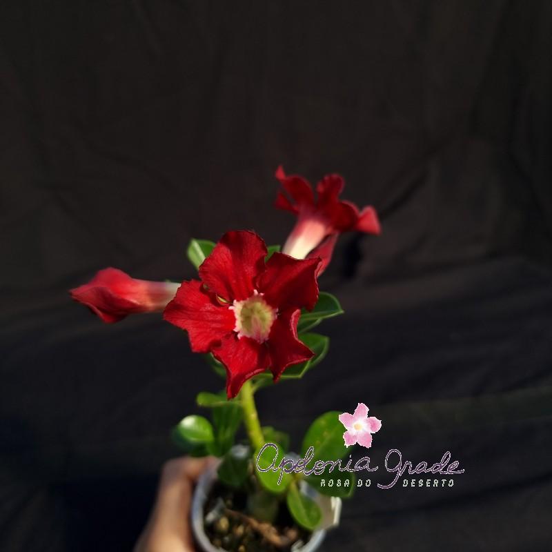 ROSA DO DESERTO PRECOCE , PLANTA JOVEM FLORIDA 011