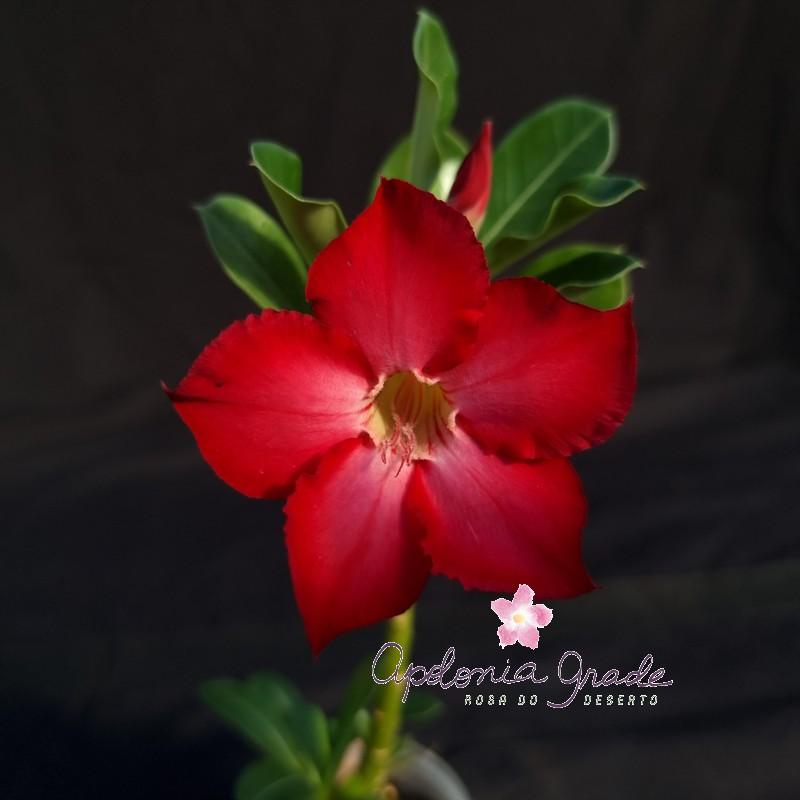 ROSA DO DESERTO PRECOCE , PLANTA JOVEM FLORIDA 013