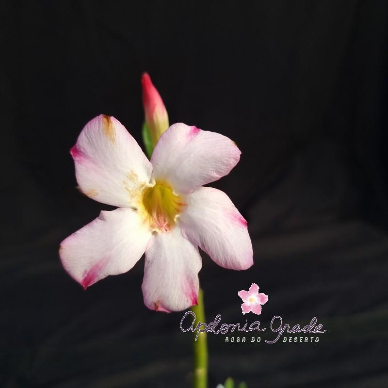 ROSA DO DESERTO PRECOCE , PLANTA JOVEM FLORIDA 026