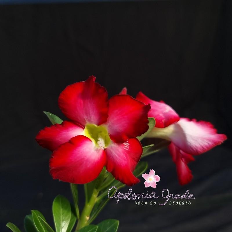 ROSA DO DESERTO PRECOCE , PLANTA JOVEM FLORIDA 033
