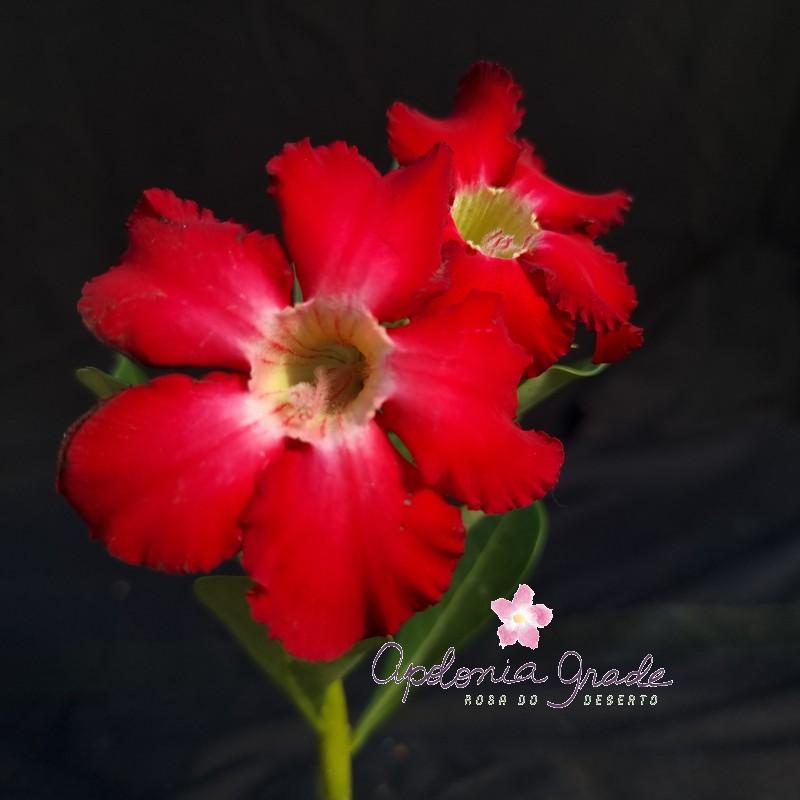 ROSA DO DESERTO PRECOCE , PLANTA JOVEM FLORIDA 035