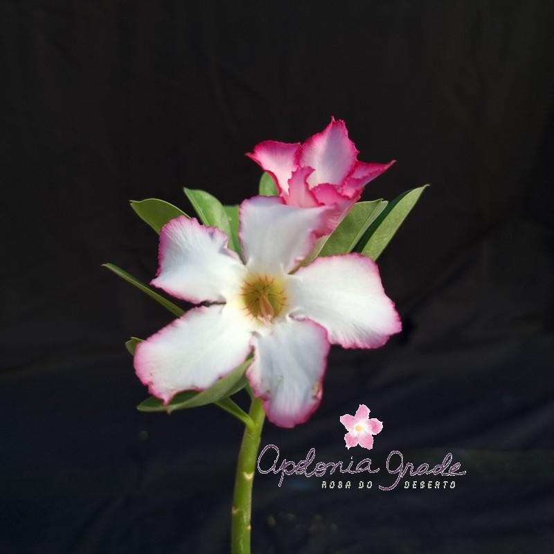 ROSA DO DESERTO PRECOCE , PLANTA JOVEM FLORIDA 041