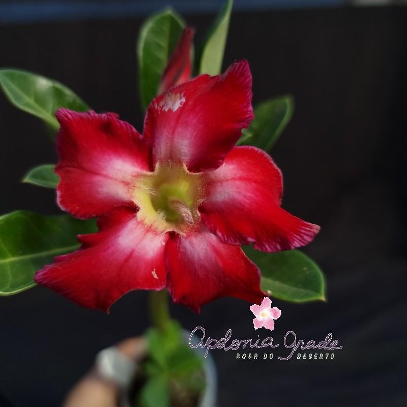 ROSA DO DESERTO PRECOCE , PLANTA JOVEM FLORIDA 047