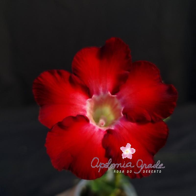 ROSA DO DESERTO PRECOCE , PLANTA JOVEM FLORIDA 052