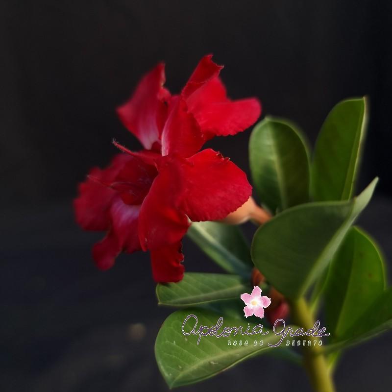 ROSA DO DESERTO PRECOCE , PLANTA JOVEM FLORIDA 057