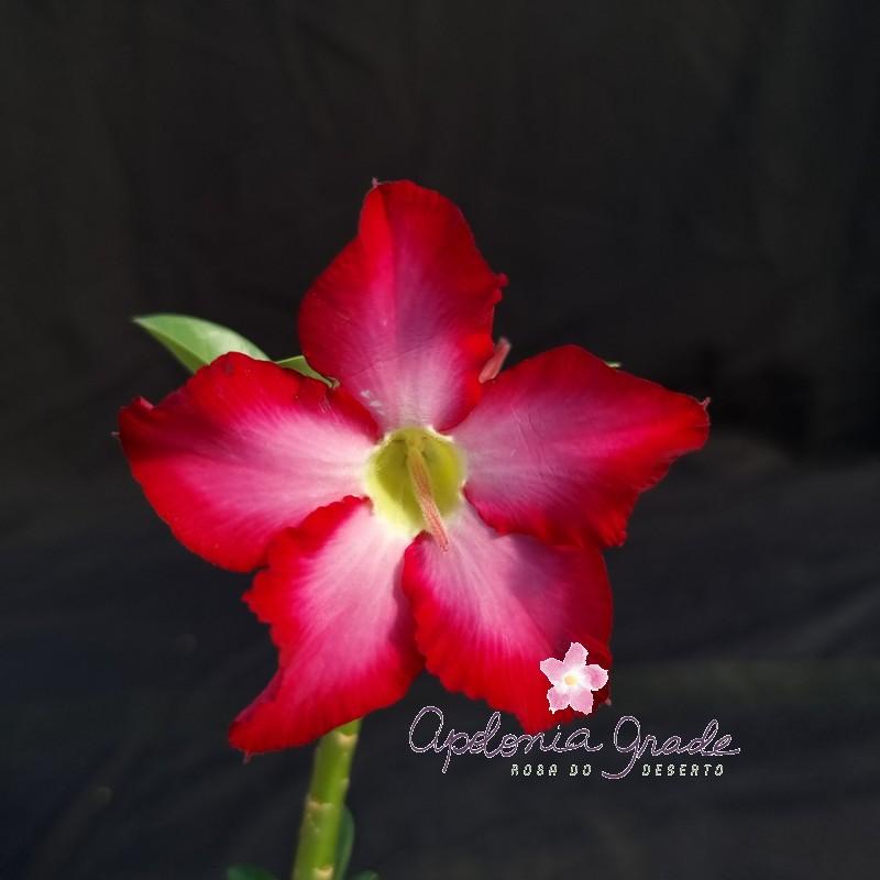 ROSA DO DESERTO PRECOCE , PLANTA JOVEM FLORIDA 061